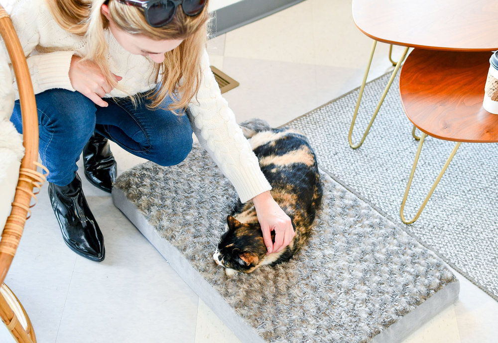 Adoptable cat Cassie at Tinker's Cat Cafe, Salt Lake City, Utah — Cotton Cashmere Cat Hair