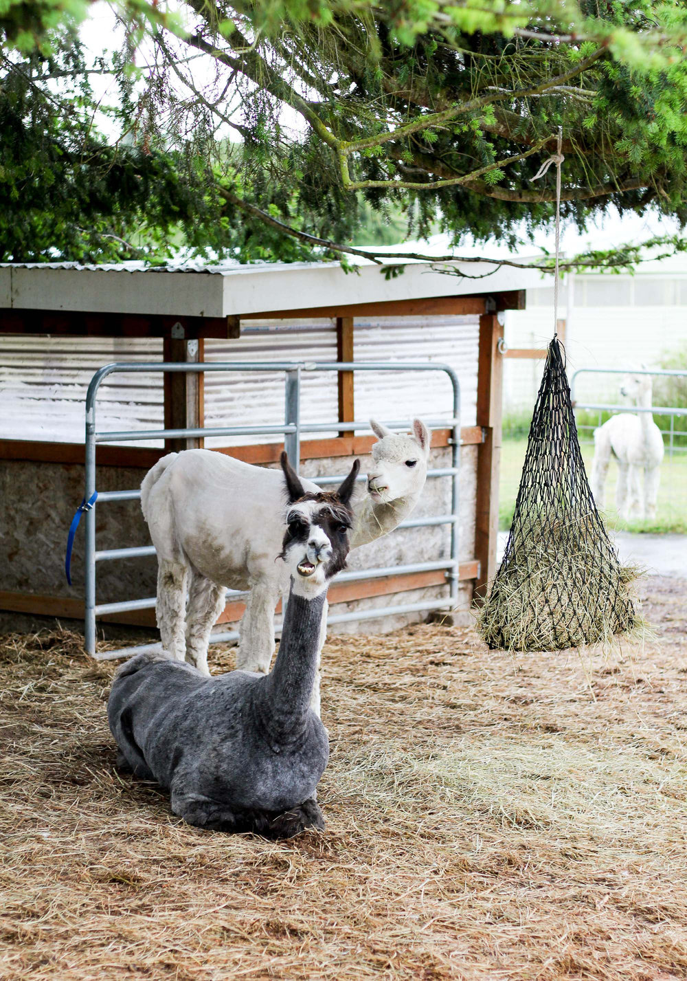 Happy Valley Alpaca Ranch, Sequim, Washington — Cotton Cashmere Cat Hair