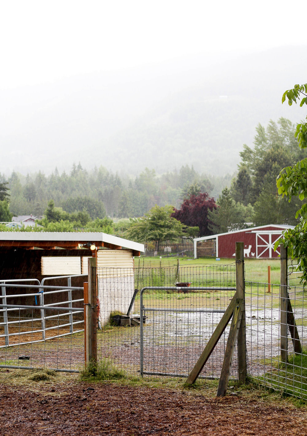 Rainy spring day at Dyefeltorspin, Happy Valley Alpaca Ranch — Cotton Cashmere Cat Hair