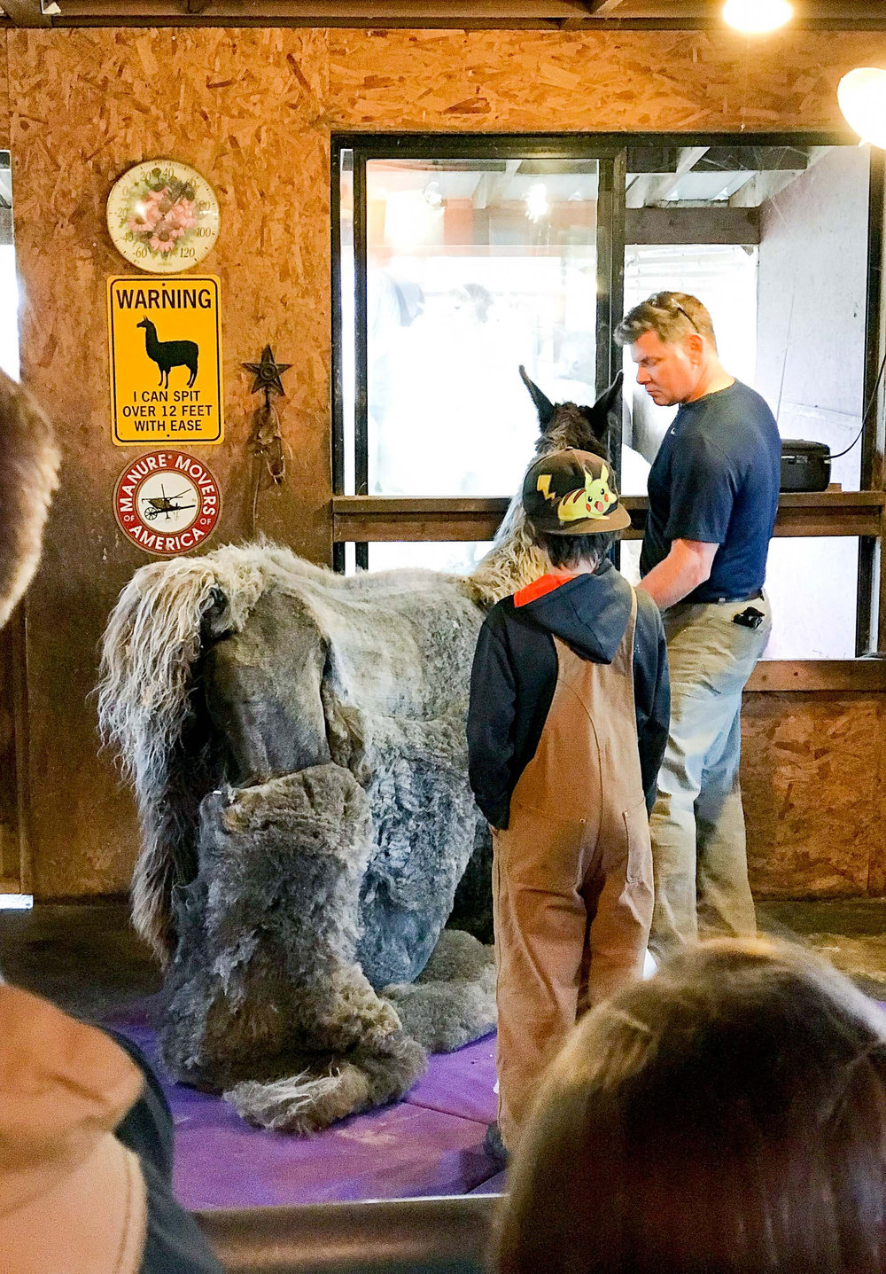 Alpaca shearing at Happy Valley Alpaca Ranch, Sequim, Washington — Cotton Cashmere Cat Hair