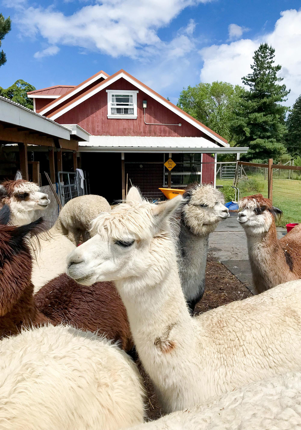 Alpacas at Happy Valley Alpaca Ranch — Cotton Cashmere Cat Hair