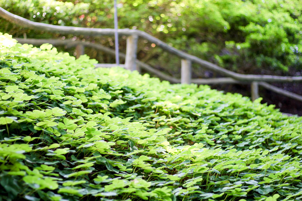 Clover at The Butchart Gardens, British Columbia — Cotton Cashmere Cat Hair