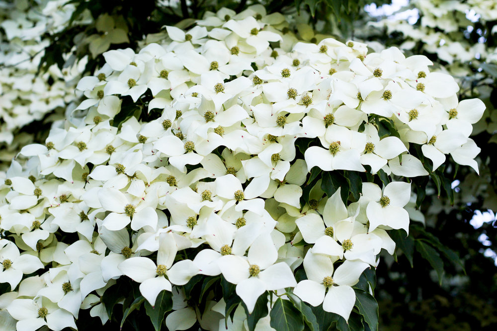 Dogwood tree in Butchart Gardens — Cotton Cashmere Cat Hair
