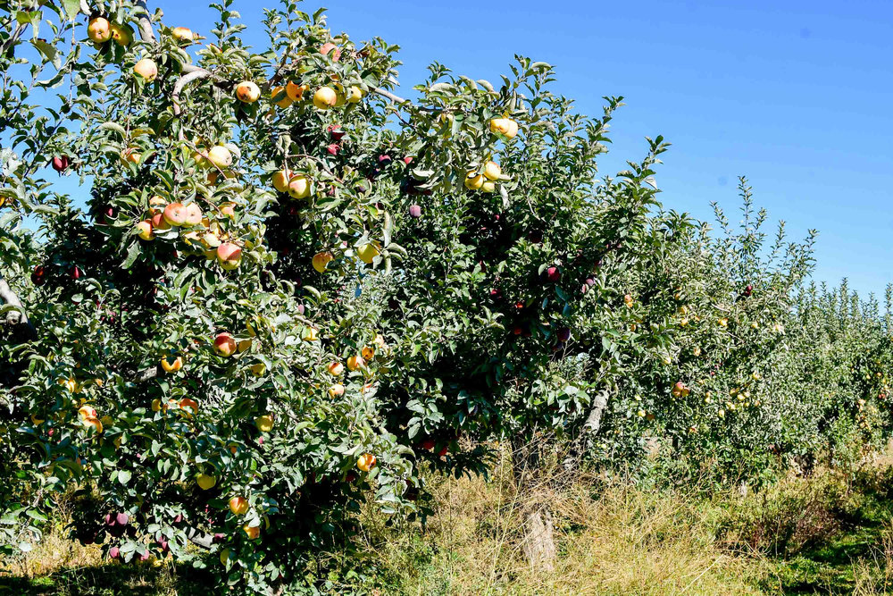 Cabalo's Apple Orchard in Kuna, Idaho — Cotton Cashmere Cat Hair
