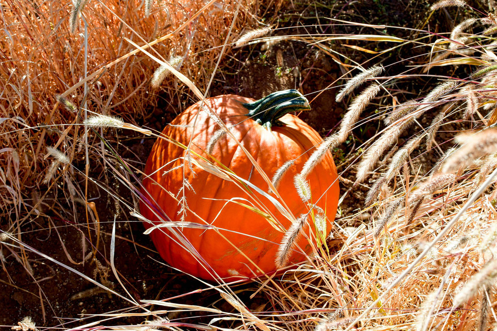 Pumpkin patch at Cabalo's Orchard and Gardens — Cotton Cashmere Cat Hair