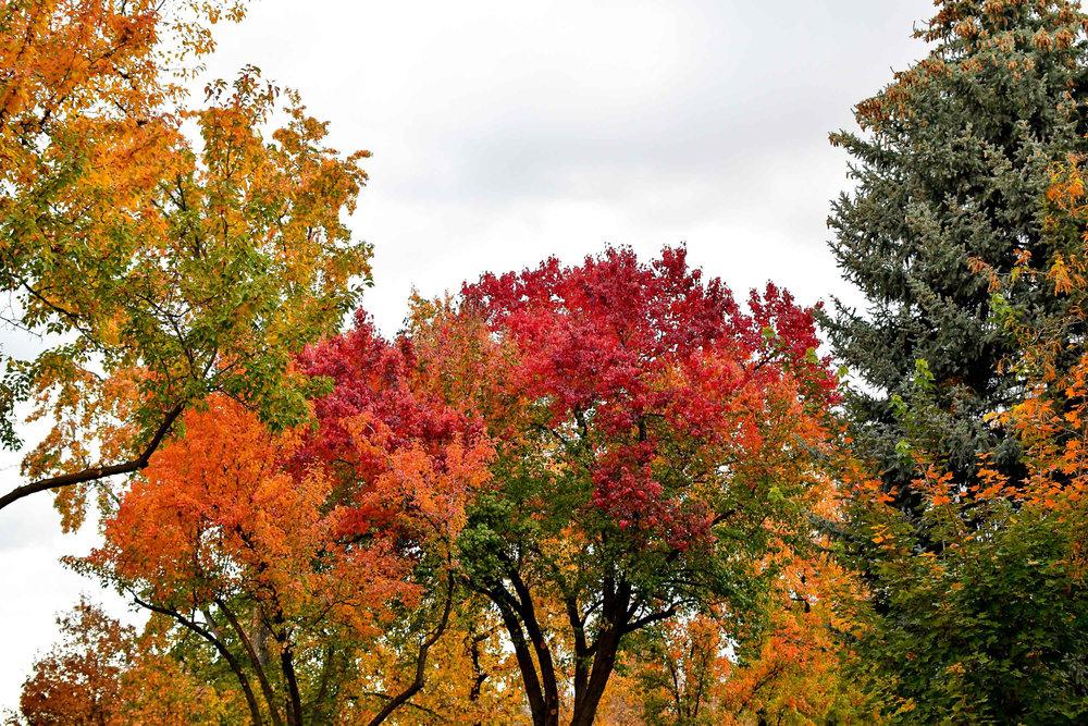 Autumn foliage along Harrison Boulevard, Boise, Idaho — Cotton Cashmere Cat Hair