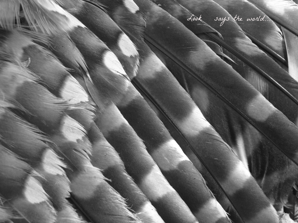wing feathers of a dead barred owl