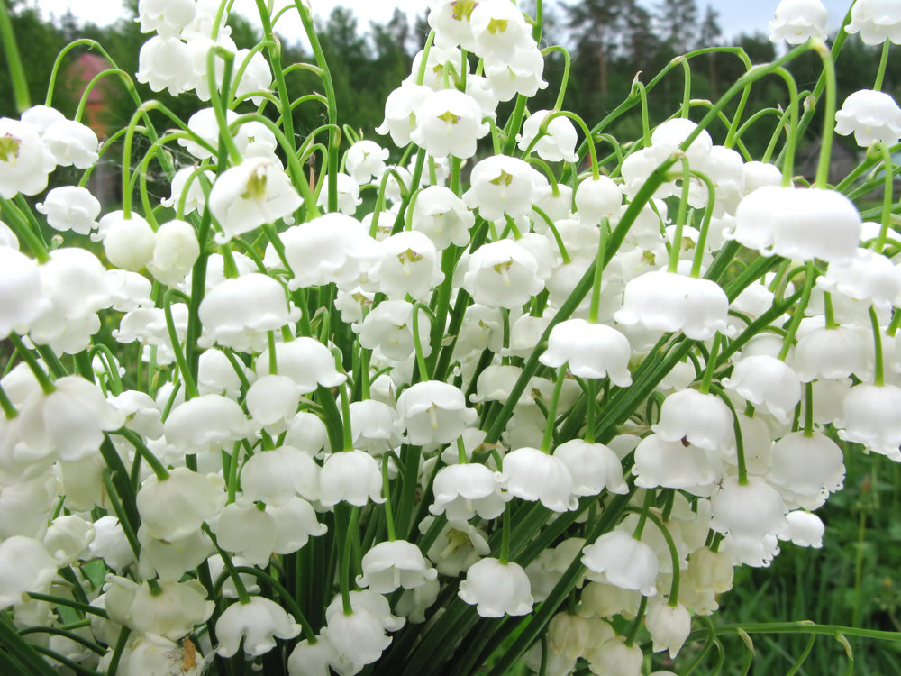 The Lily of the Valley grows wild all around here