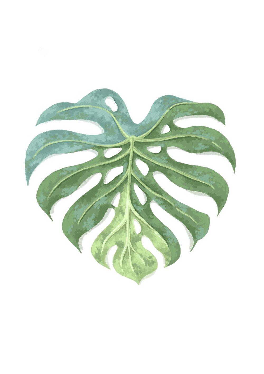 Tropical monstera leaf illustration.