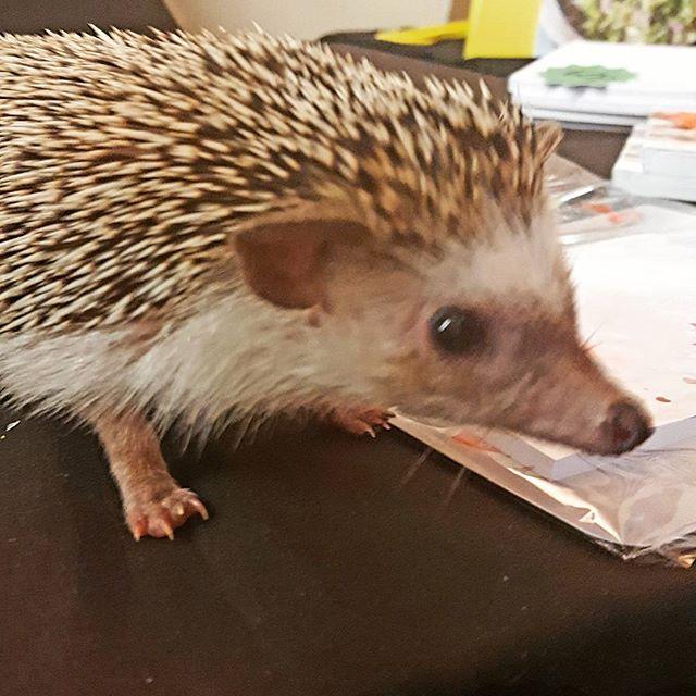 Meet bemo the hedgehog #hedgehog #cute