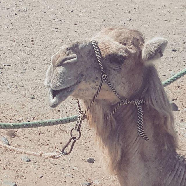 Happy to see everyone #camel #happychap