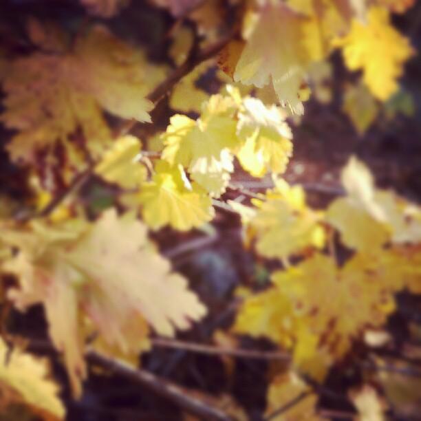 # leaves, # fall, #autumn  http://instagr.am/p/PCyOLasBtP/