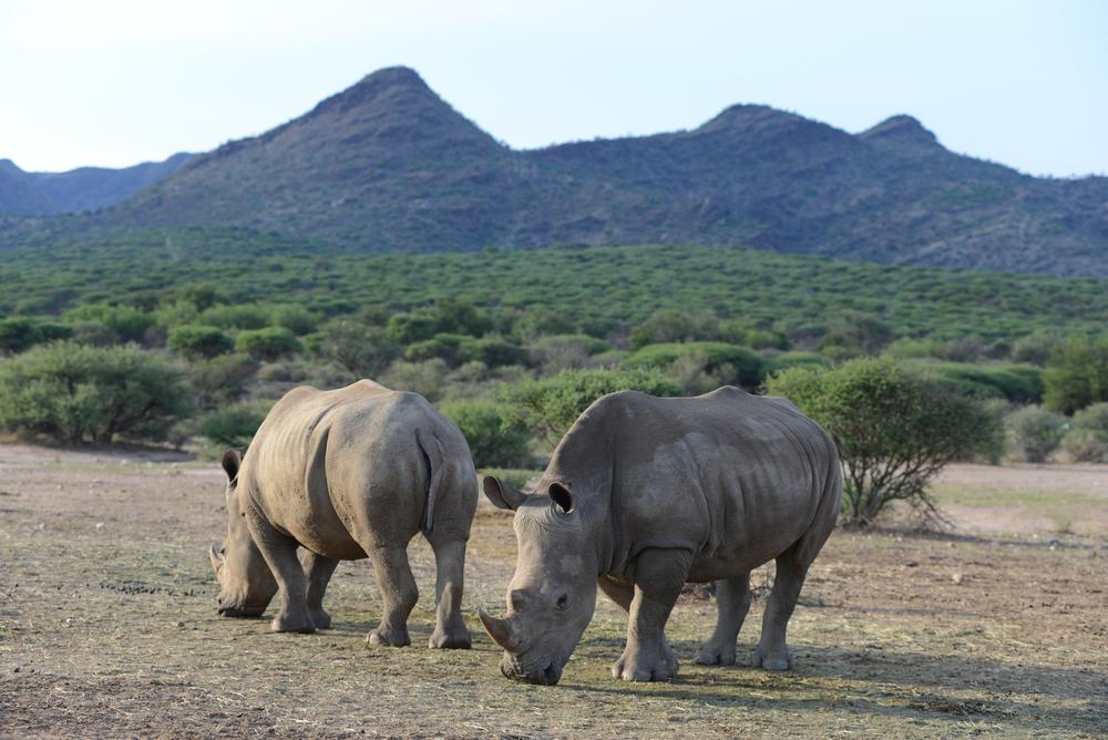 White Rhinos Namibia