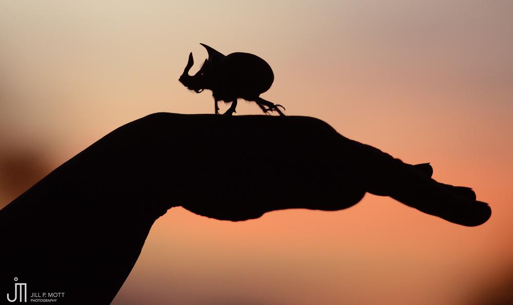 Rhincerous Beetle
