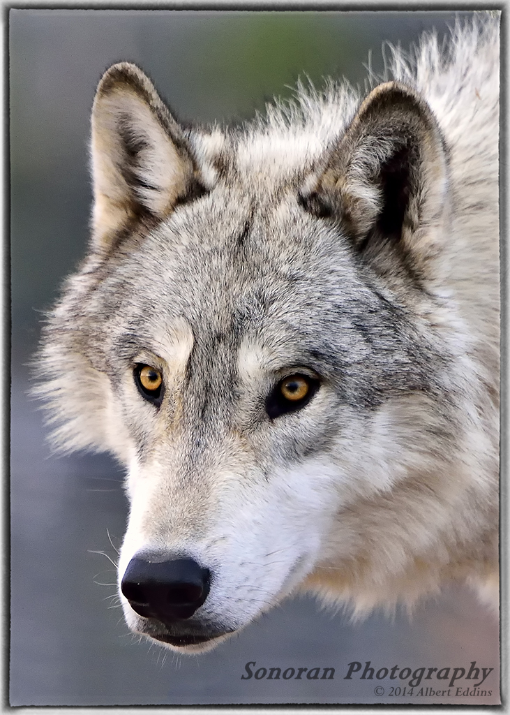 5 Star_Gray Wolf_ASE0214.jpg