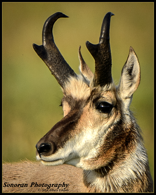5 Star_Pronghorn_ASE3066.jpg