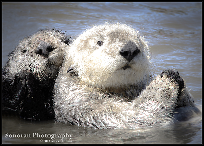 Sea Otter Friends - Moss Landing, California