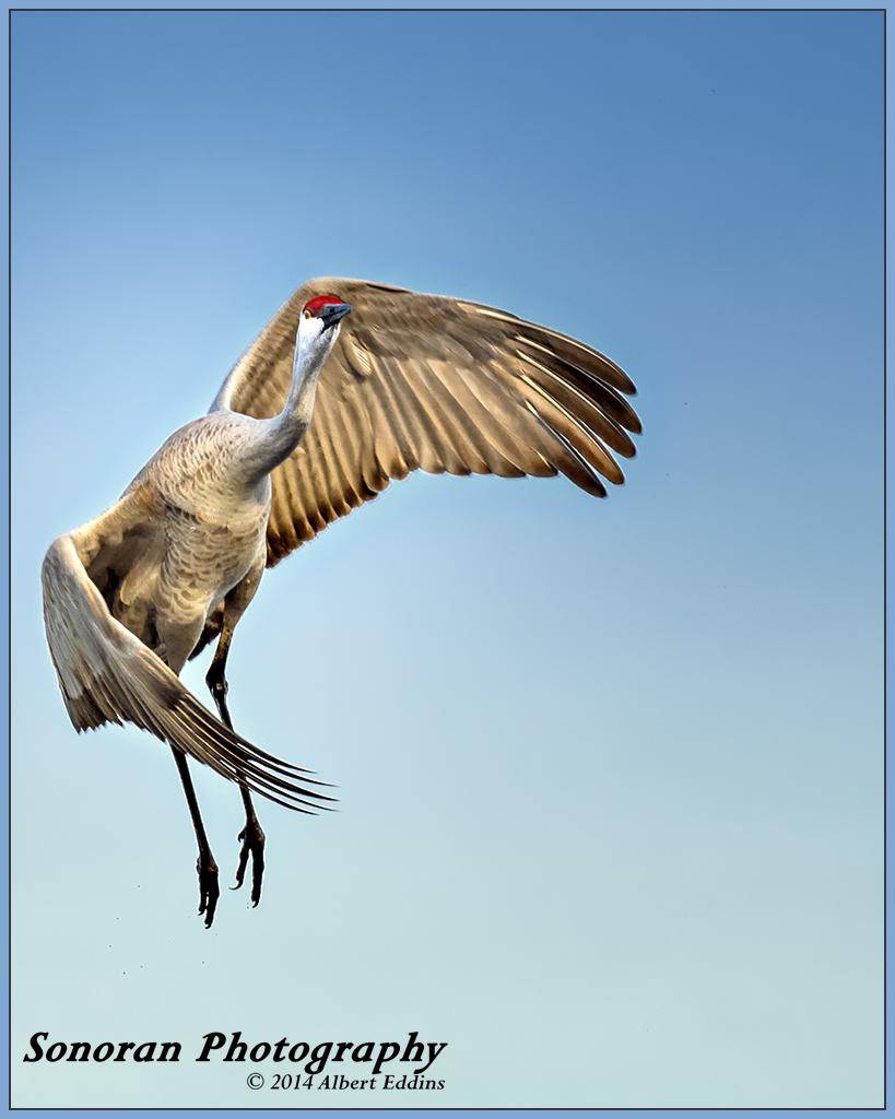 Sandhill Crane - Bosque del Apache, New Mexico