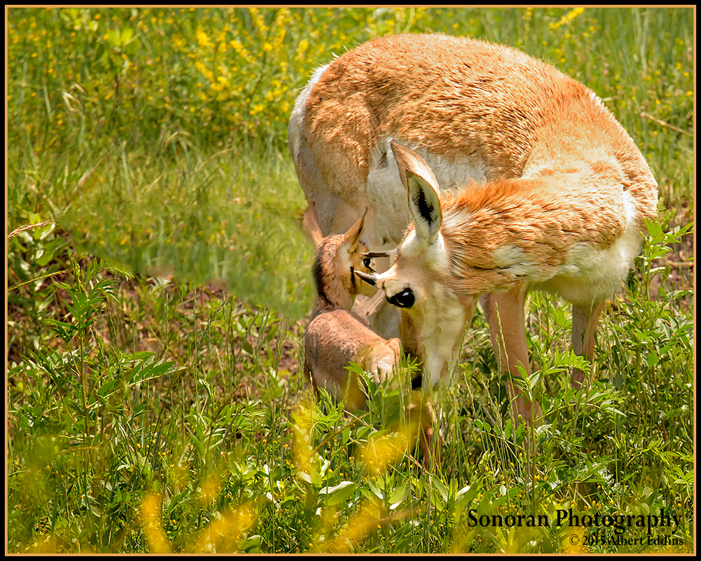 Mother and Baby Pronghorn - Custer, South Dakota