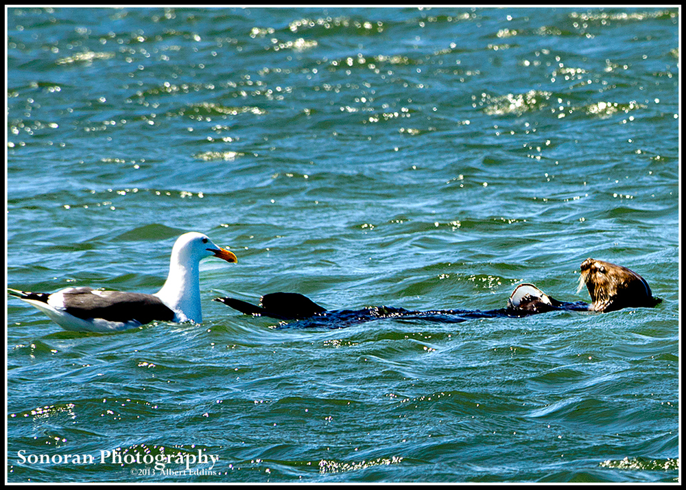 Sea Otter and Uninvited Dinner Guest - Moss Landing, California