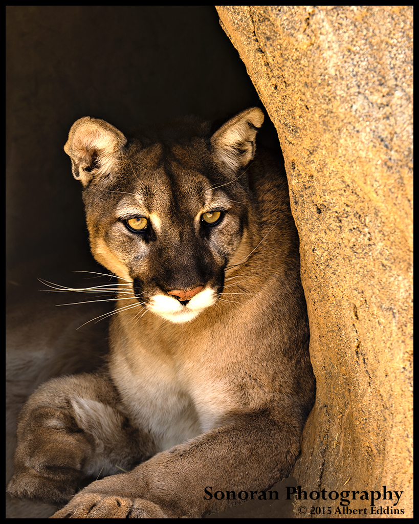Mountain Lion - Alpine, California