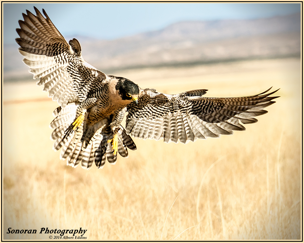 Peregrine Falcon - New Mexico