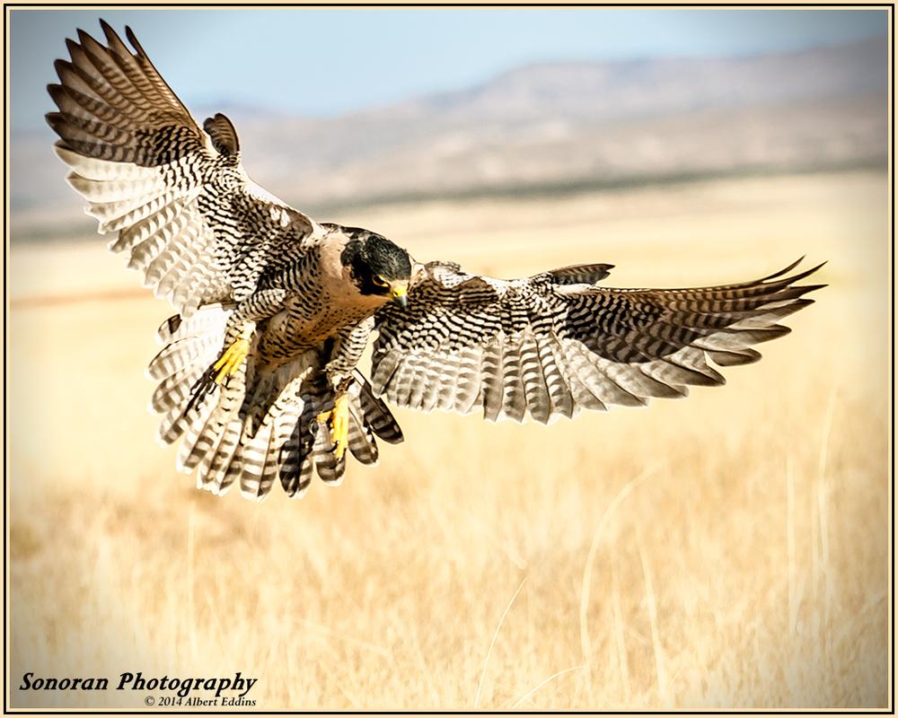 Peregrine Falcon - New Mexico