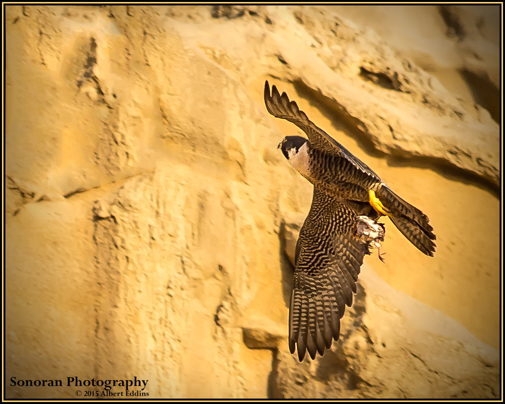 Peregrine Falcon taking Prey to Eyrie (nest) - California