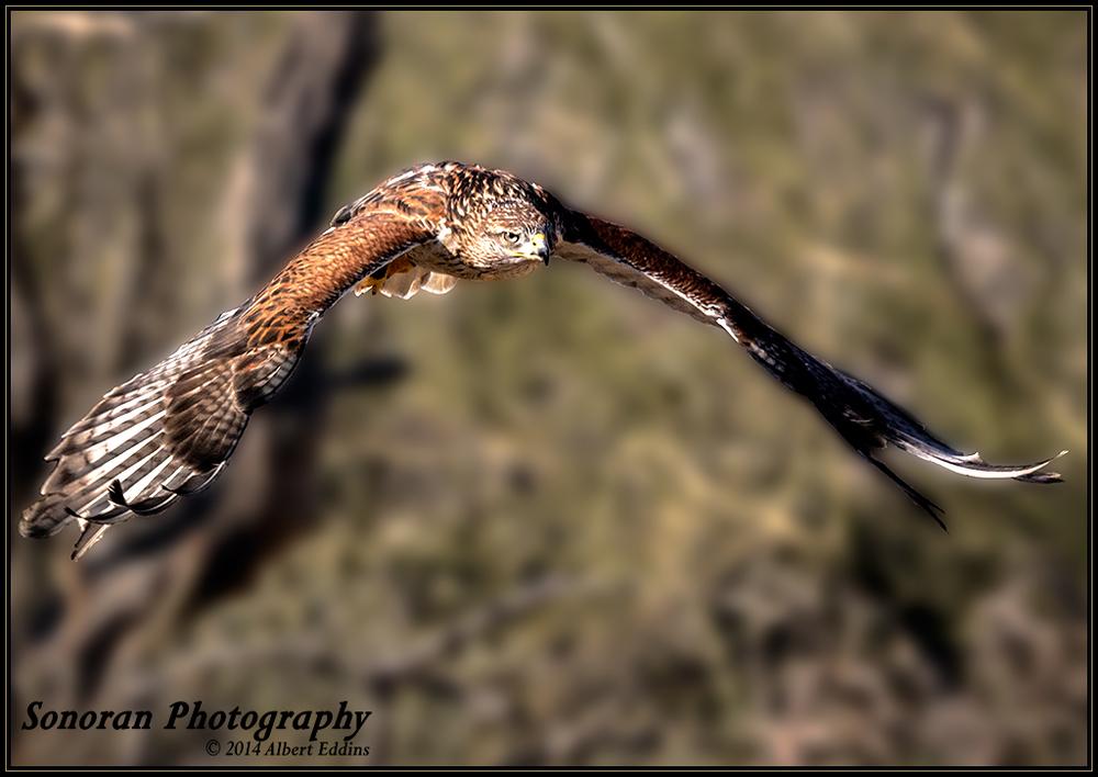 Ferruginous Hawk - Saguaro National Park - Arizona