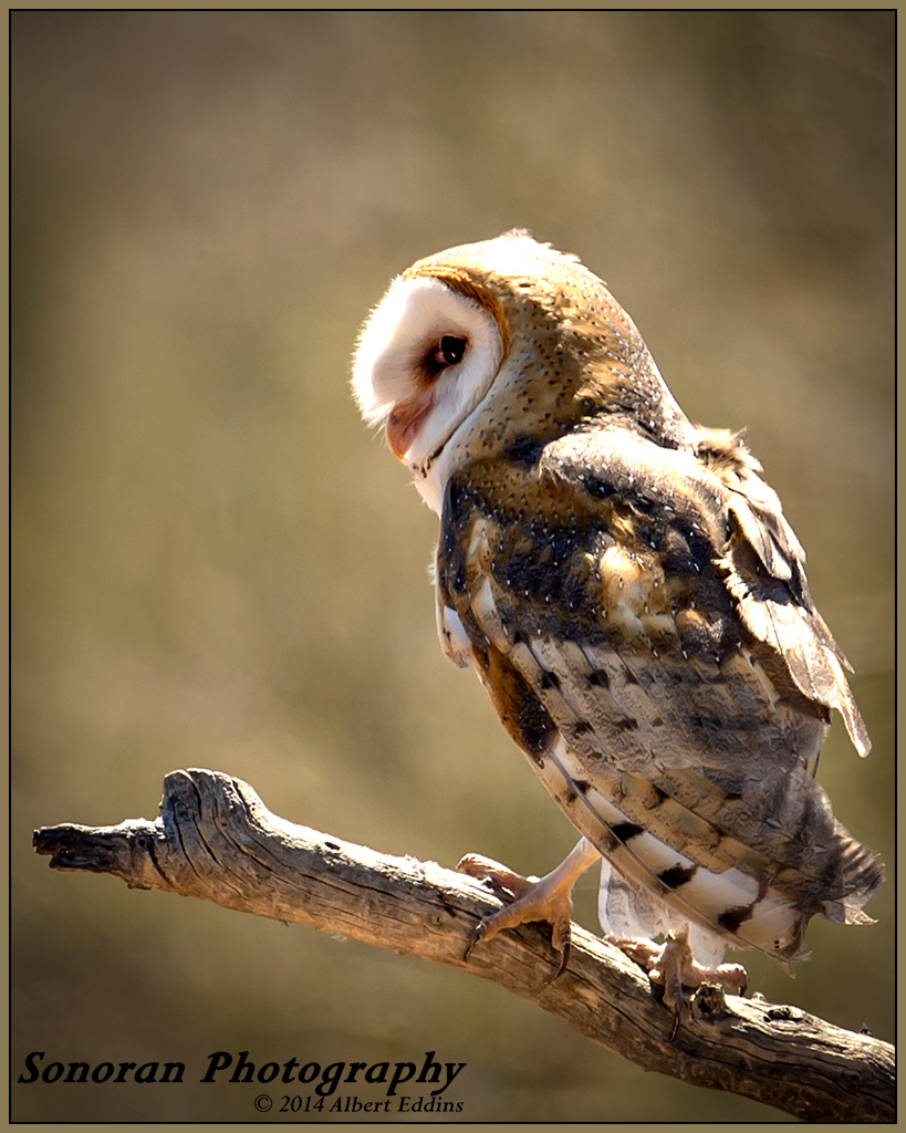 Wise Little Barn Owl - Arizona
