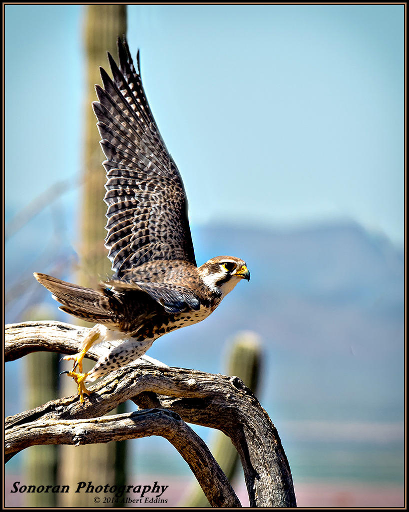 Prairie Falcon - Arizona
