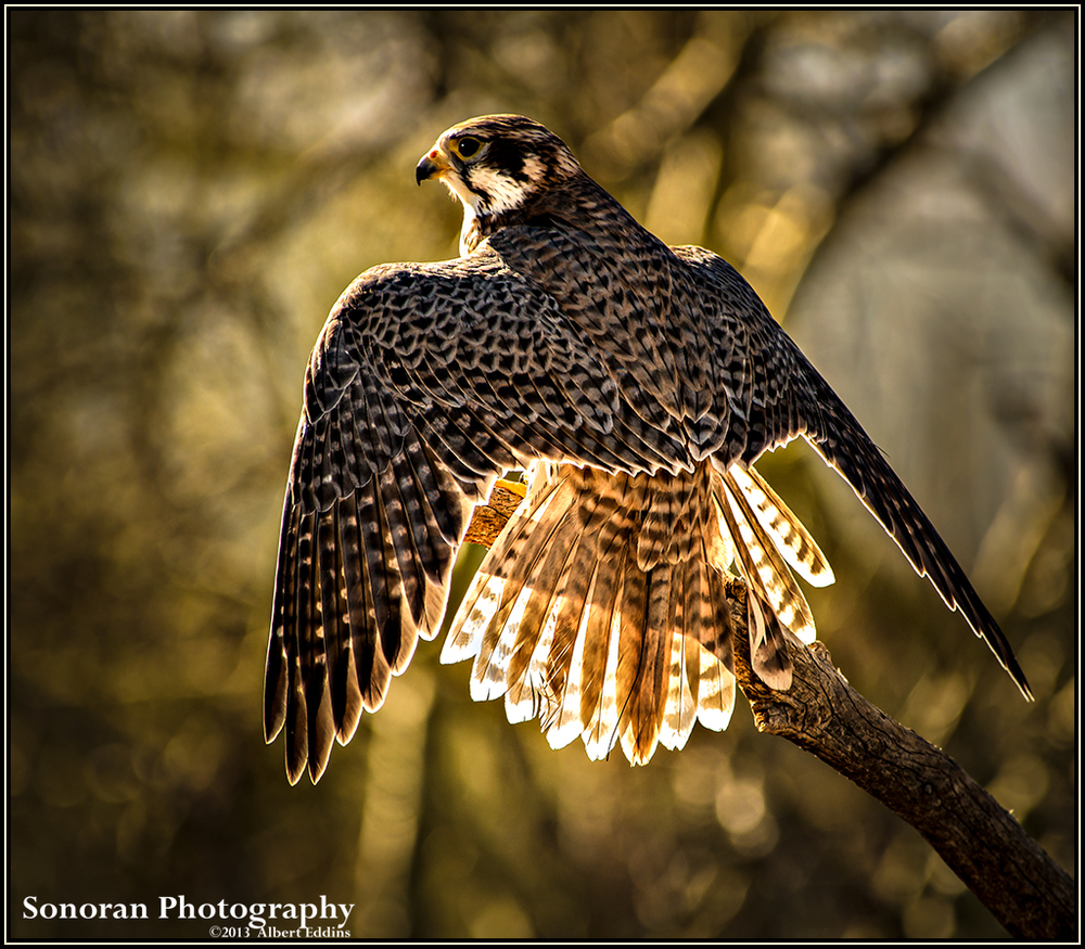 Prairie Falcon Morning Sun Bath - Utah