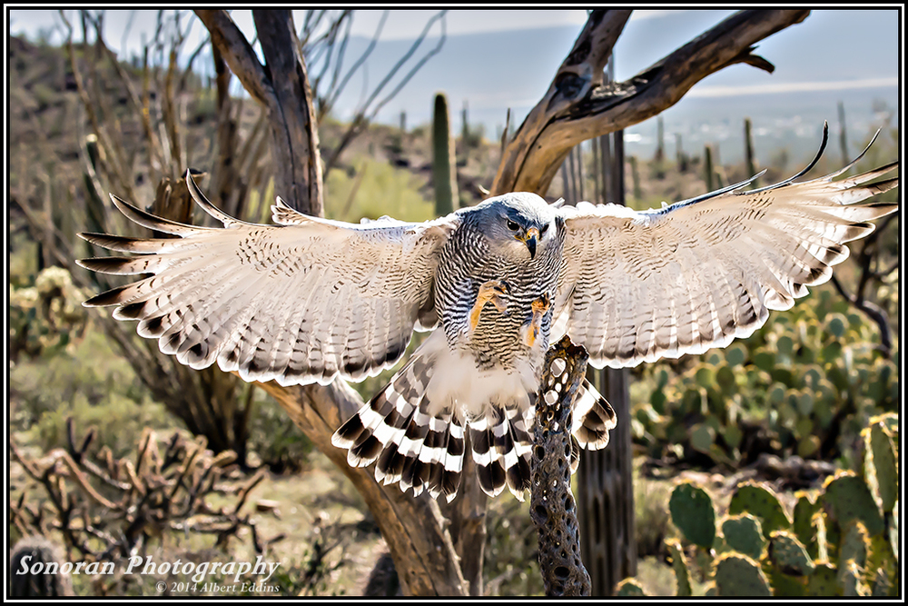 Grey Hawk On Final Approch - Arizona