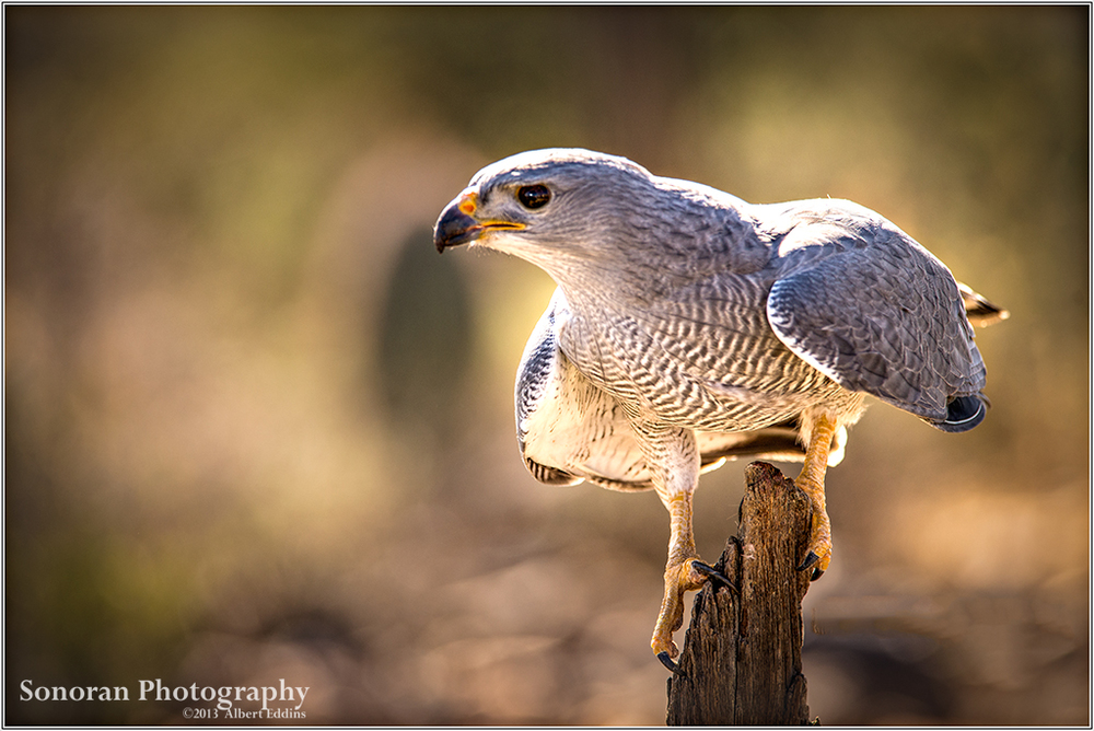 Grey Hawk - Arizona