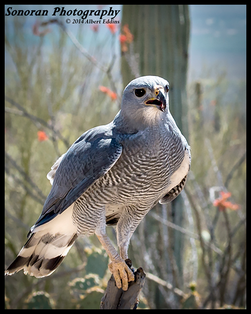 Grey Hawk - Arizona