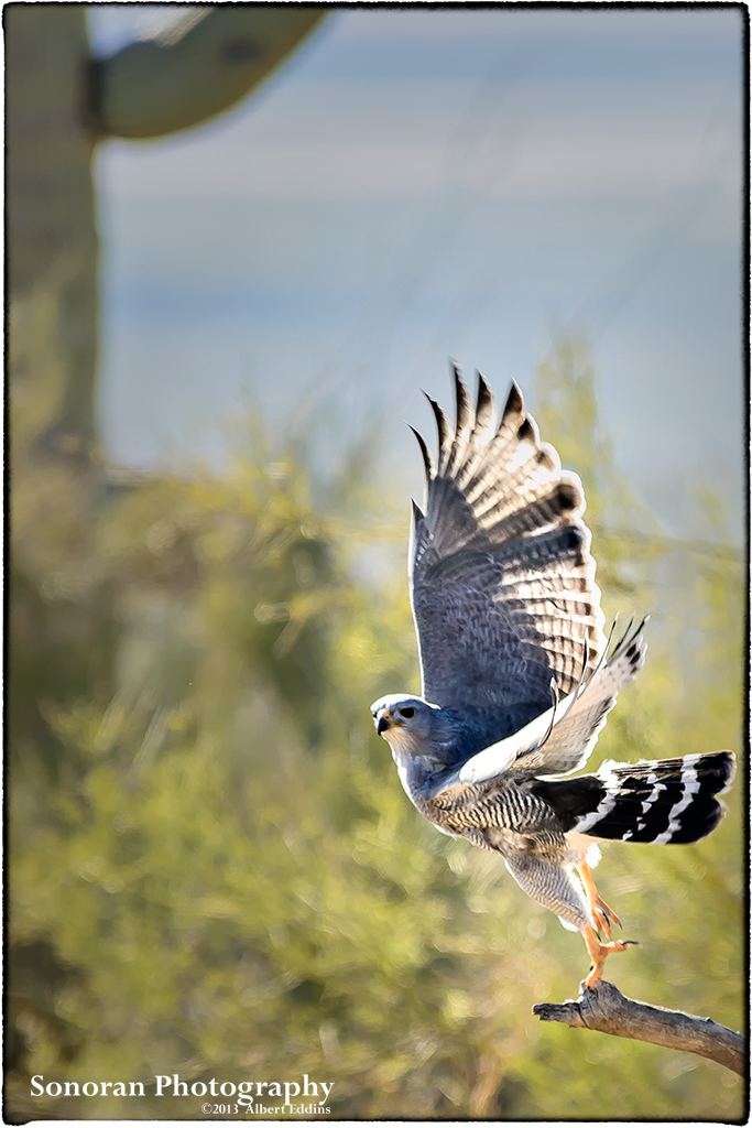 Grey Hawk Lift-Off - Arizona