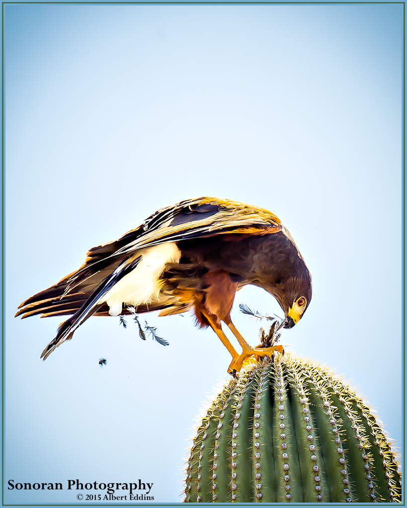 Harris's Hawk On Lunch Break - Arizona