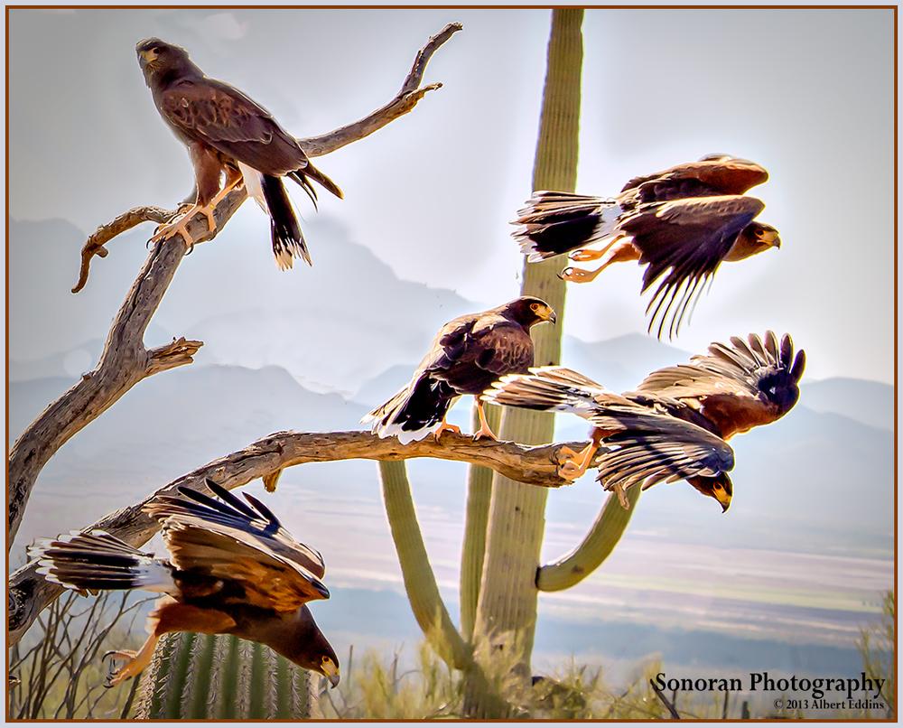 Harris's Hawk Hunting Party - Arizona