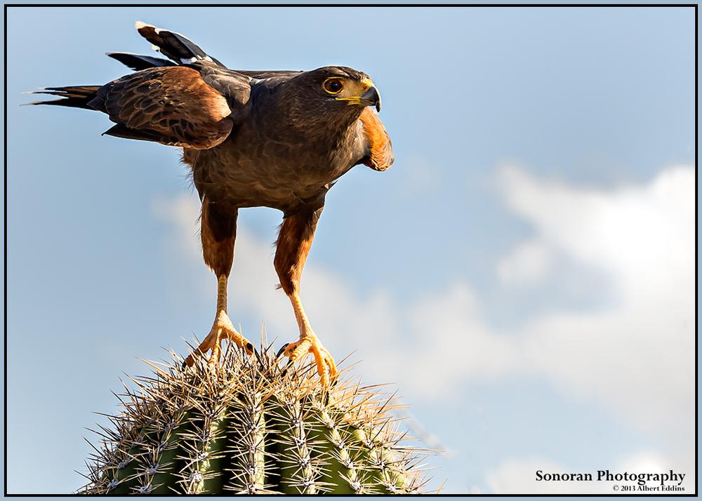 Harris's Hawk - Careful Where You Step - Arizona