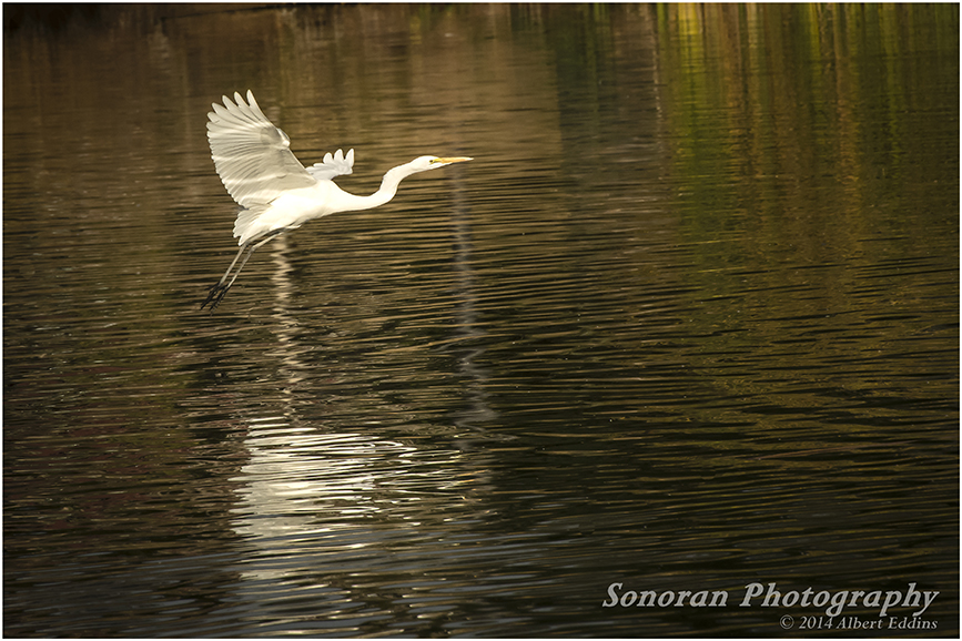 Egret in Evening_0696.jpg