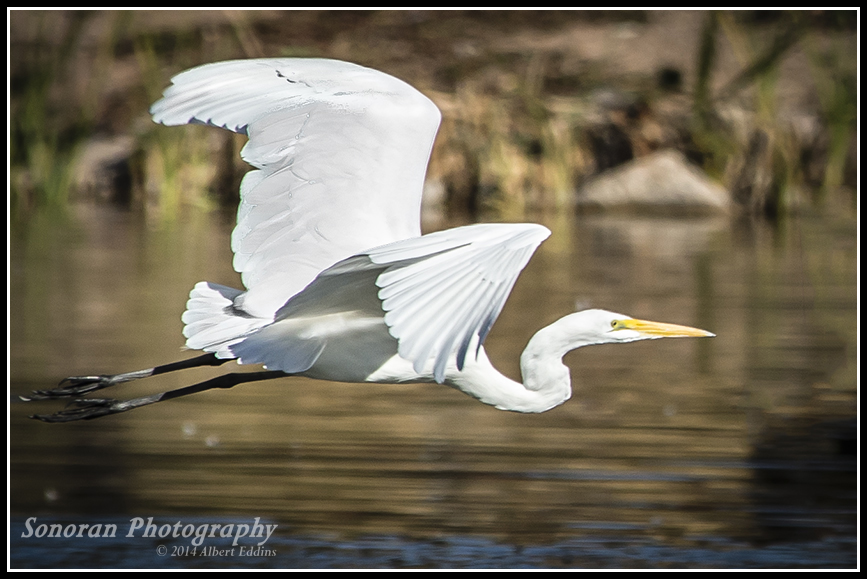 Low Flying Egret_ASE5613.jpg
