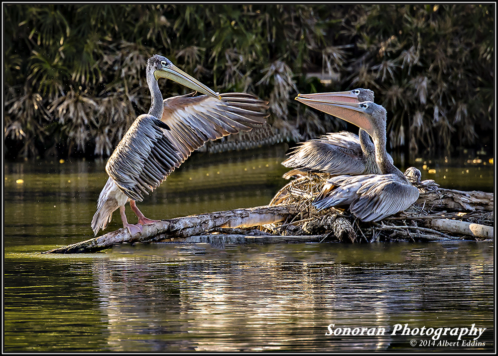 Pelicans taking singing lessons - California