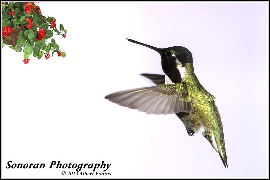Hanging Basket Hummingbird_ASE4350.jpg