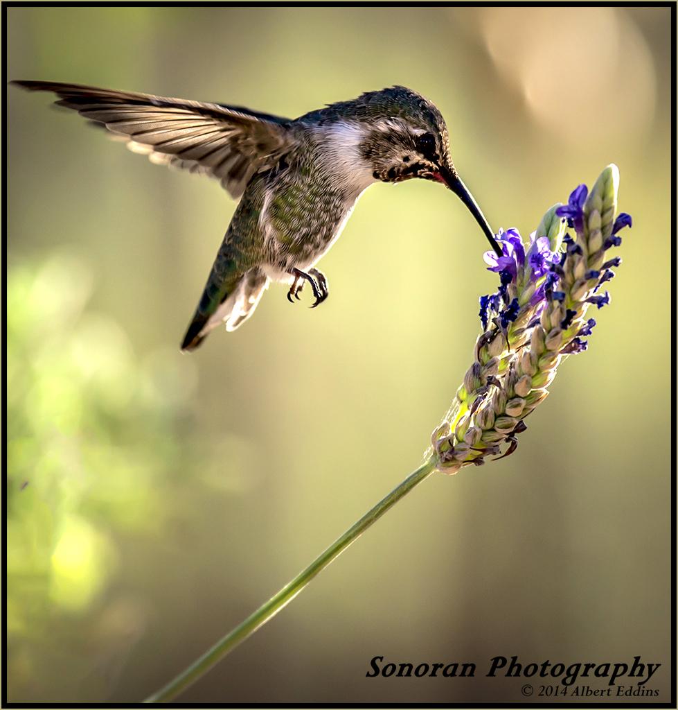 API_Hummingbird_ASE5683.jpg