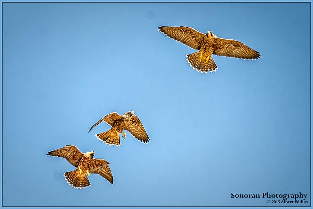 Peregrine Falcons - Three Juveniles At Play (Rare Shot) - California