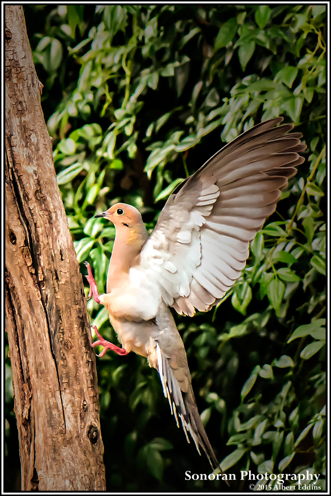 White Wing Dove - Arizona