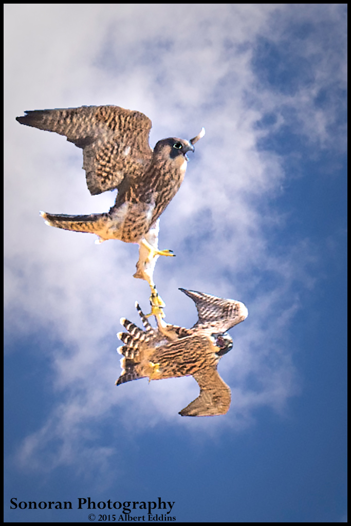 Fledgling Peregrine Falcons Lock Talons in Mock Combat - California