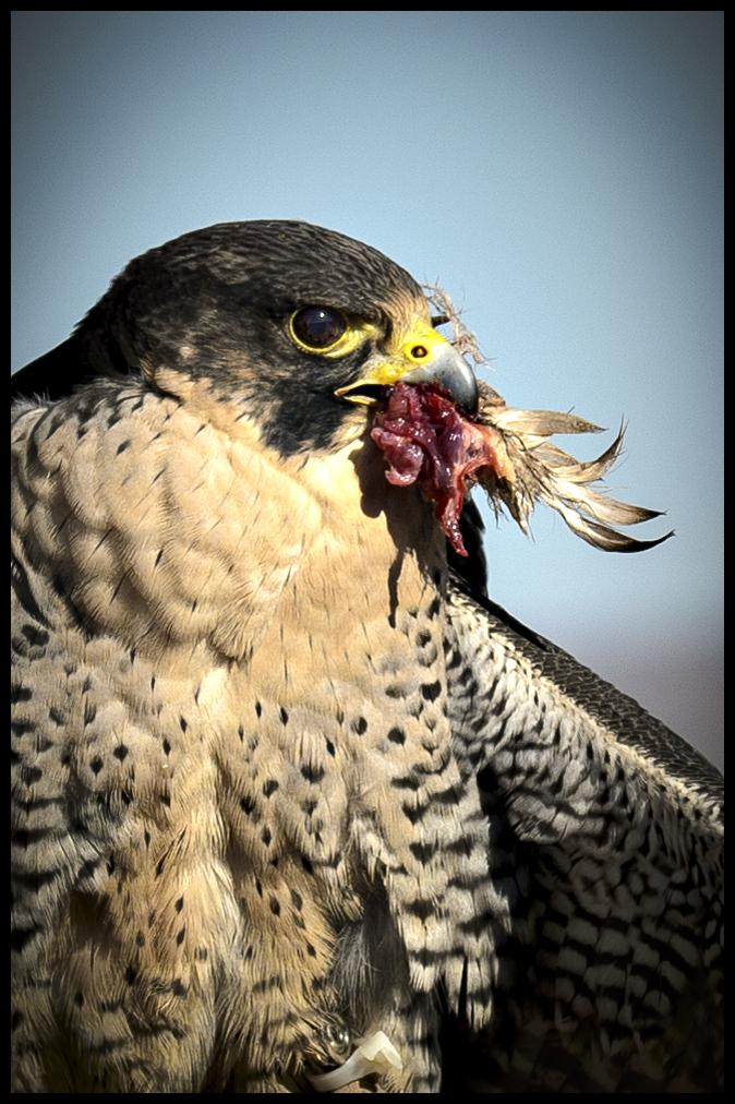 Peregrine Falcon with Prey - California