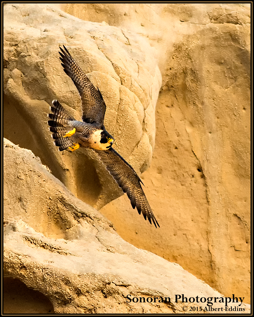Peregrine Falcon Guards Eyrie (Nest) - California
