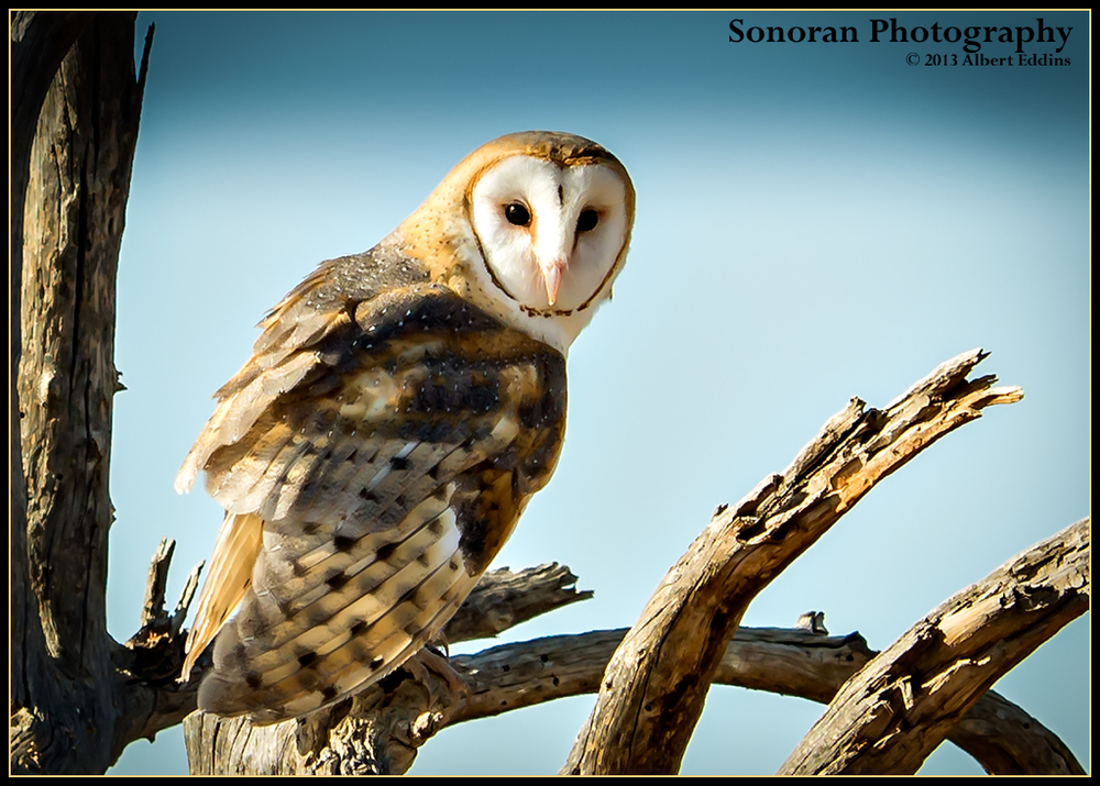 5-Star-Barn-Owl_Web_DSC3955.jpg